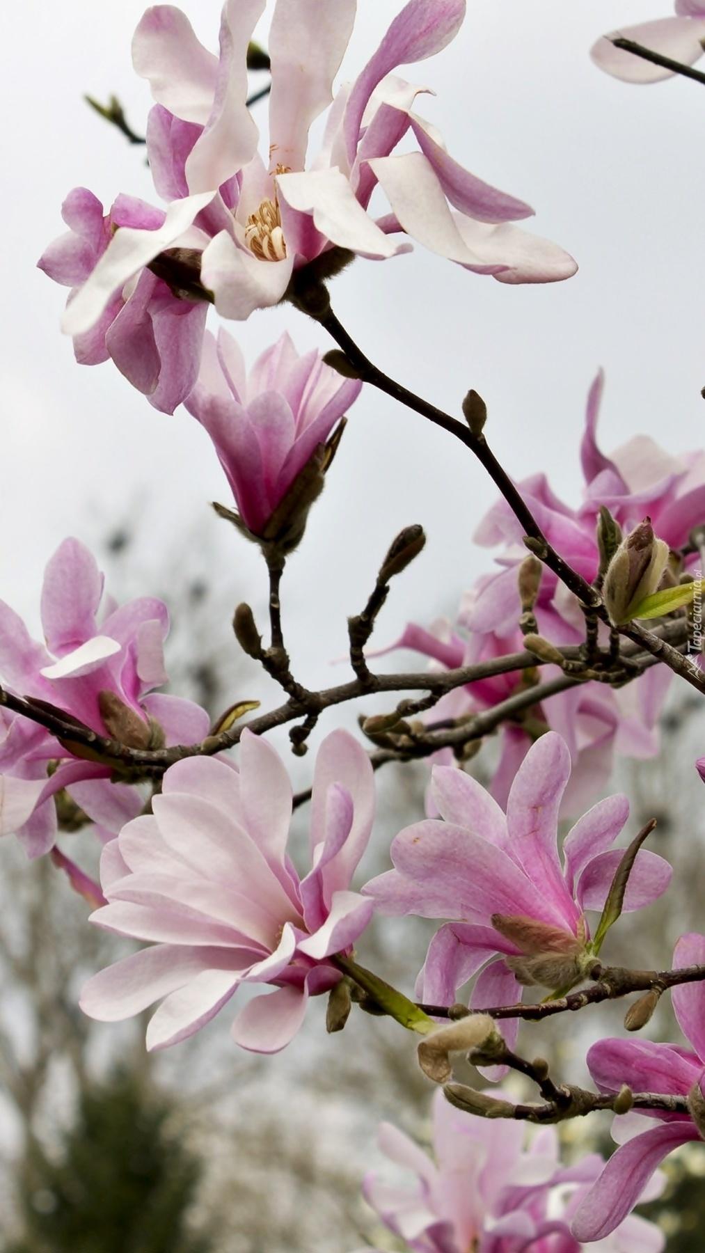 Czar magnolii