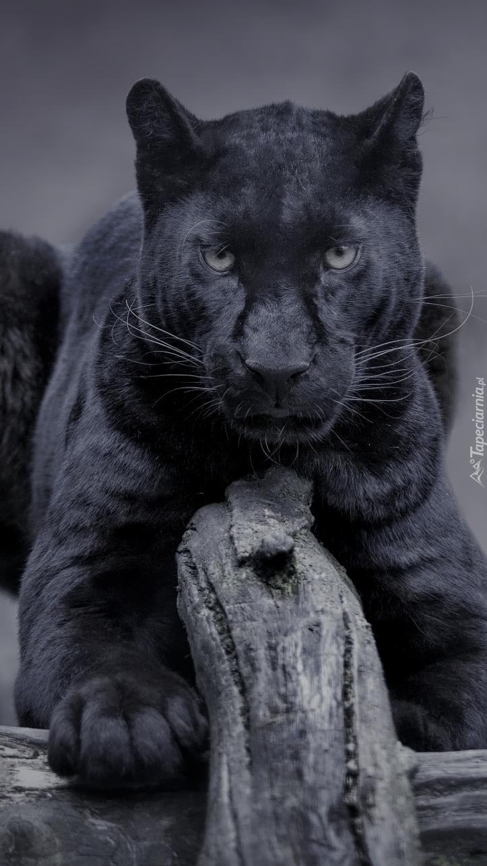 Czarna pantera na drzewie