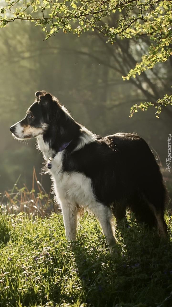 Czarno-biały pies na łące