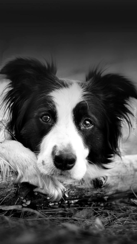 Czarno-bialy pies