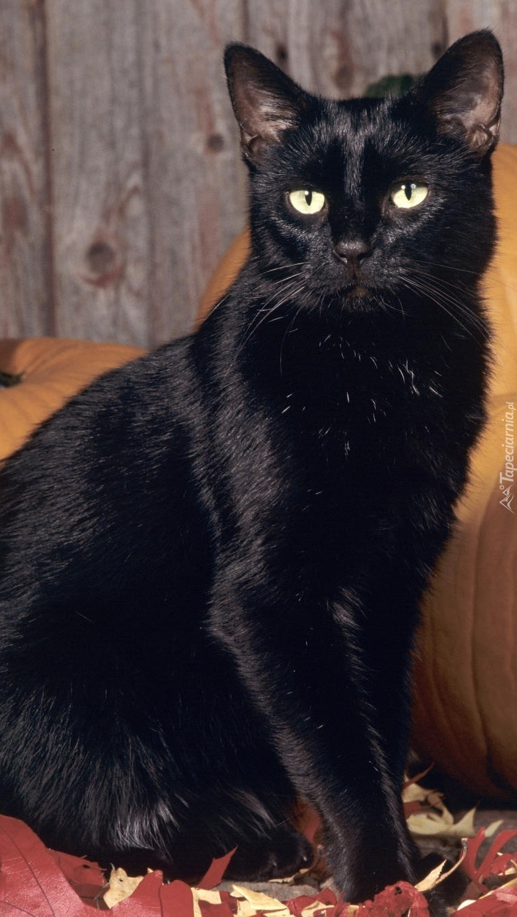 Czarny Kot W Obiektywie Tapeta Na Telefon