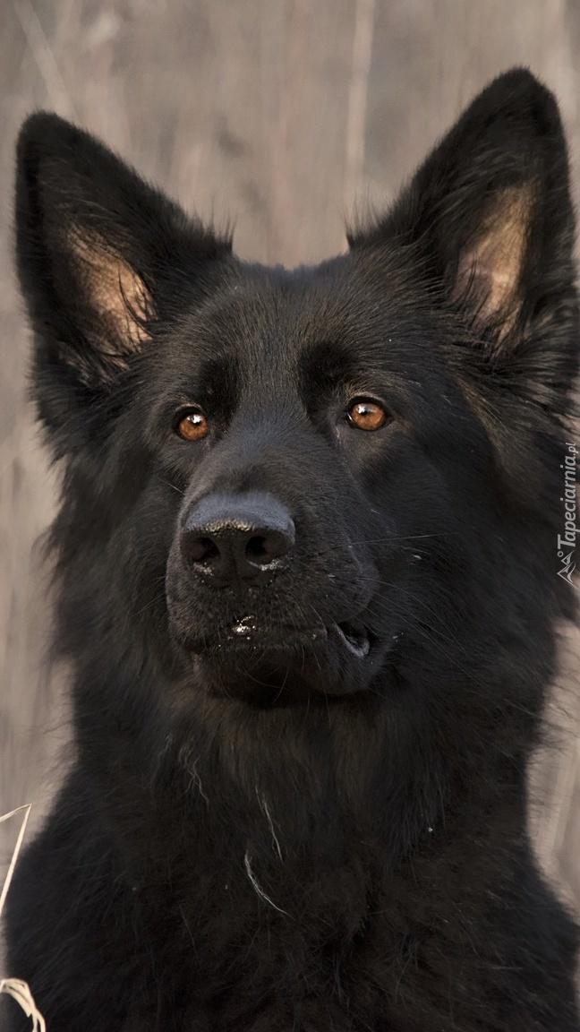 Czarny owczarek niemiecki