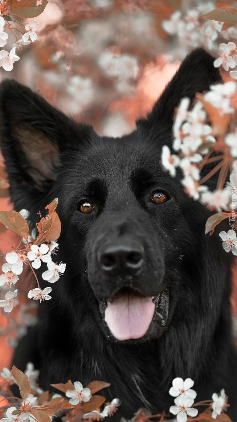Czarny owczarek niemiecki pośród kwiatków