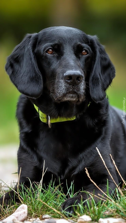 Czarny pies z obrożą smutnie patrzący