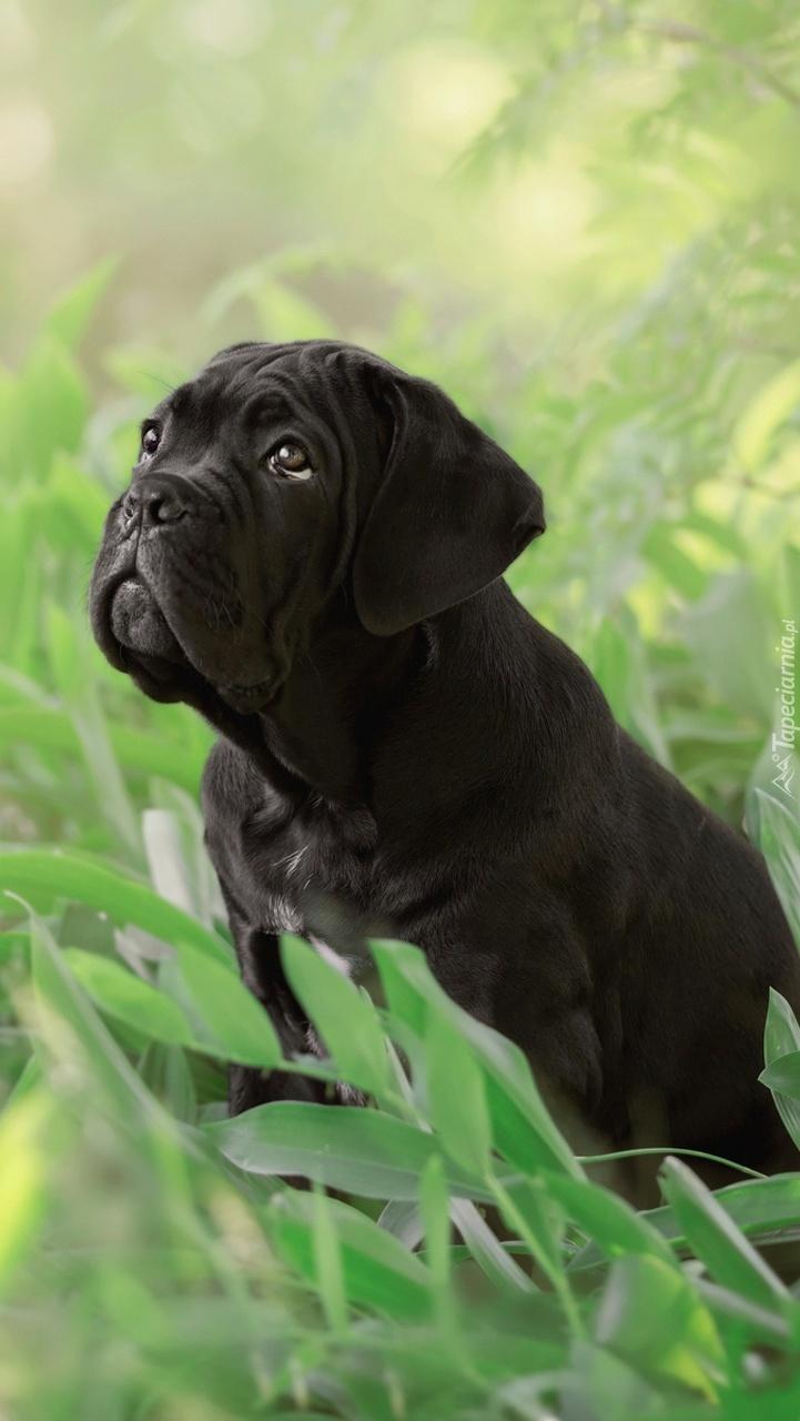 Czarny szczeniak cane corso