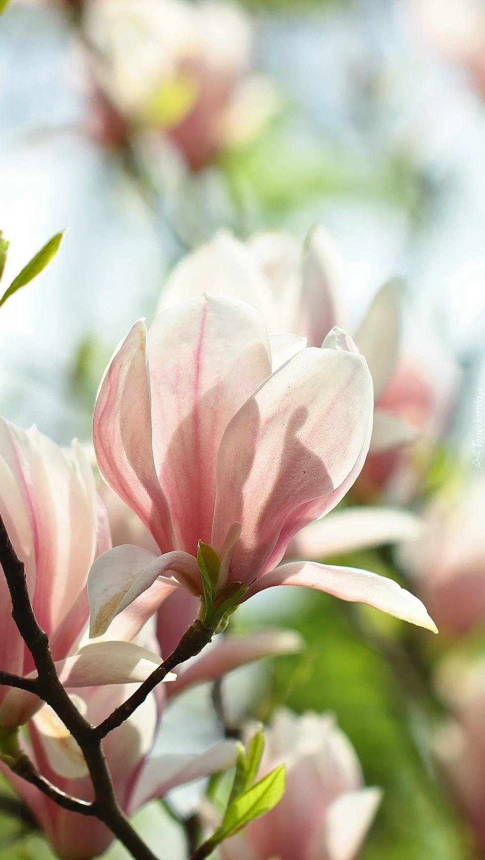 Czarujące kwiaty magnolii