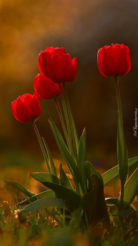 Czas tulipanów