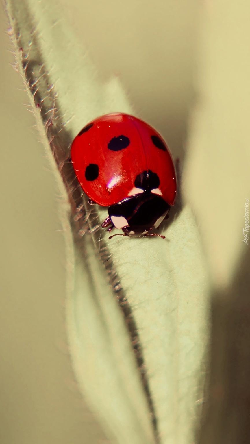 Czerwona biedronka