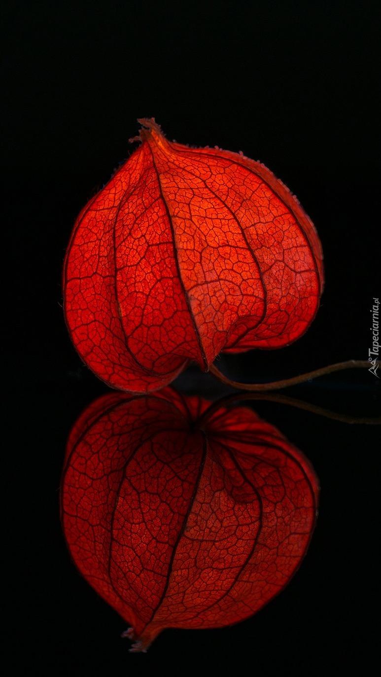 Czerwona miechunka