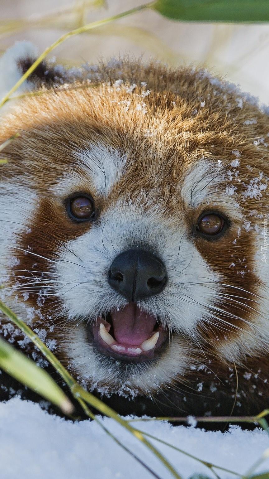 Czerwona panda w śniegu