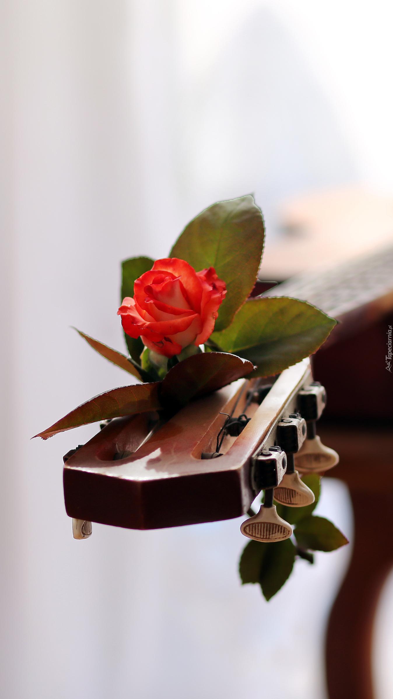 Czerwona róża na gitarze