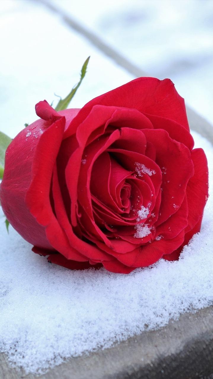 Czerwona róża na śniegu