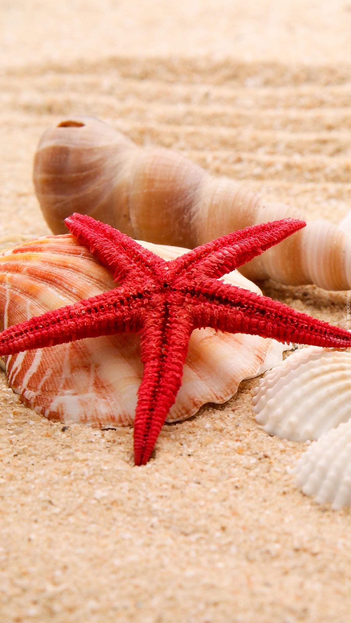 Czerwona rozgwiazda i muszelki na piasku