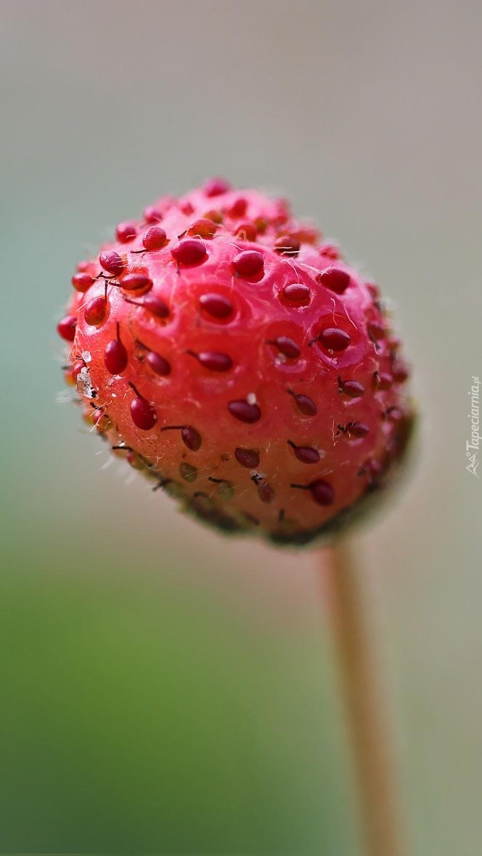 Czerwona truskawka