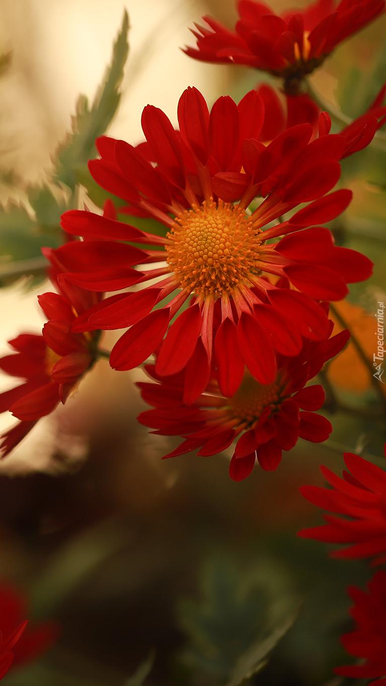 Czerwone chryzantemy