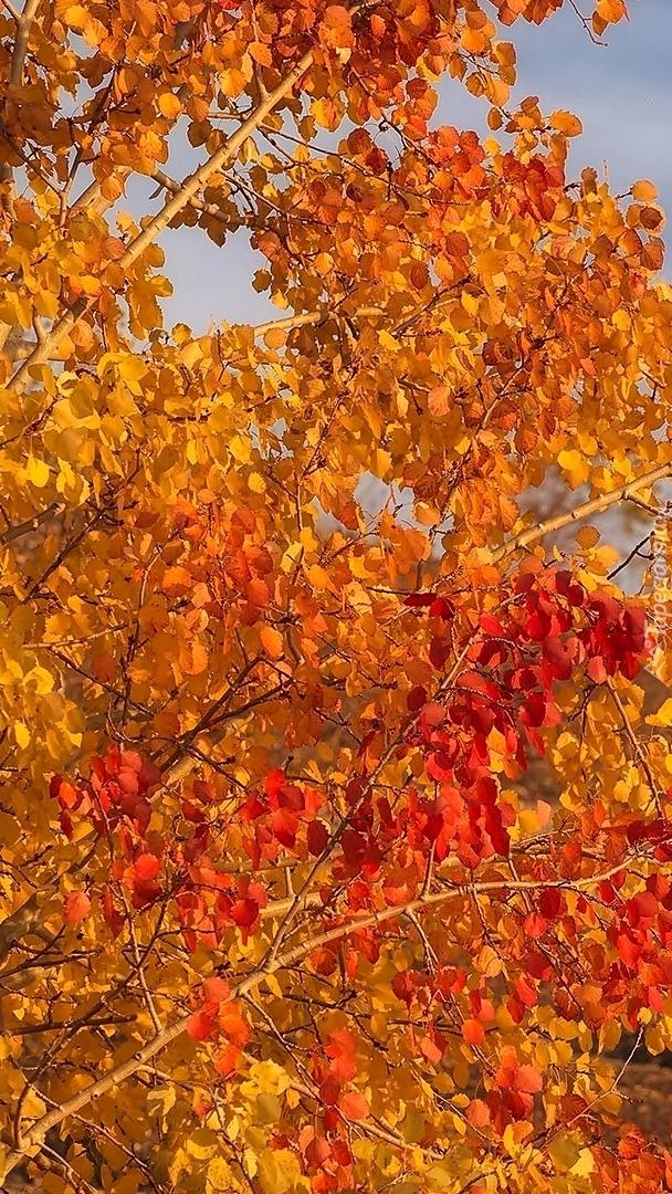 Czerwone i żółte liście na drzewie