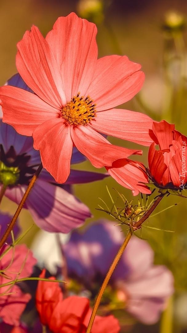 Czerwone kwiaty kosmei