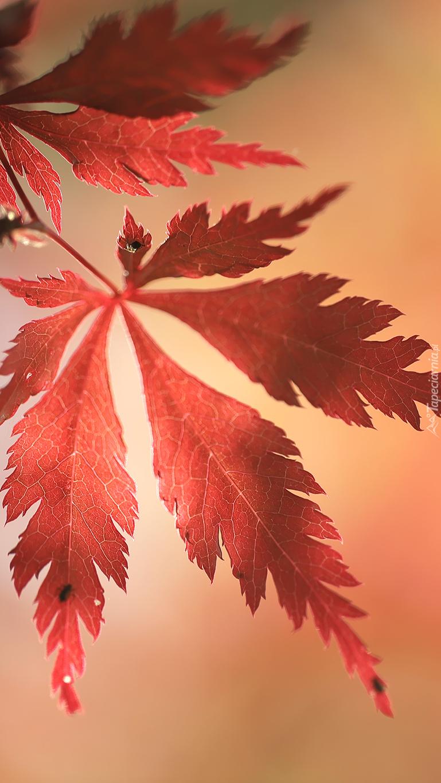Czerwone liście klonu palmowego