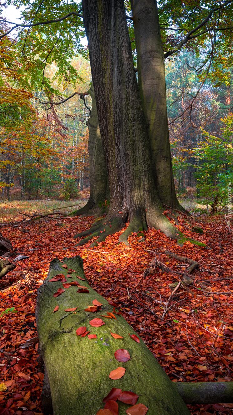 Czerwone liście pod drzewem