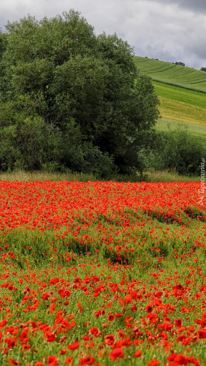 Czerwone maki na polu