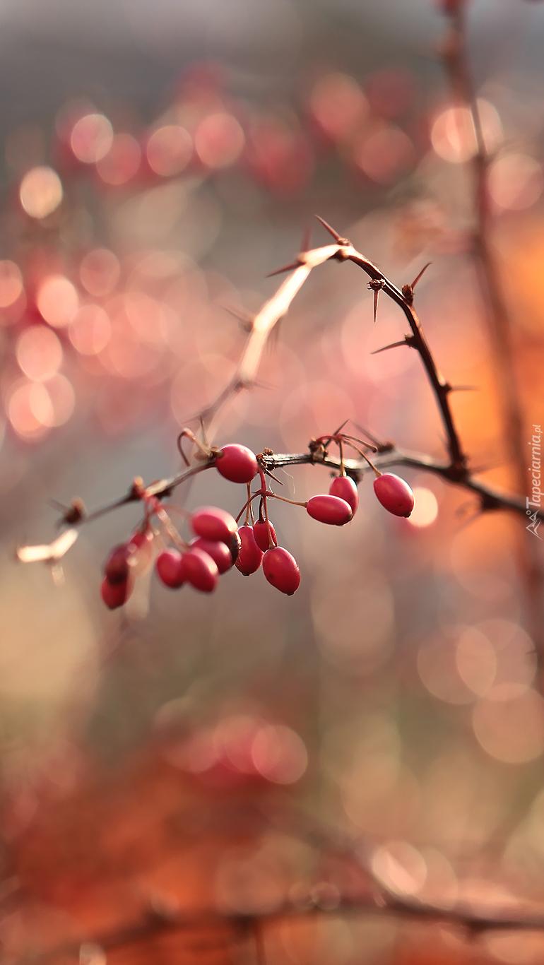 Czerwone owoce berberysu