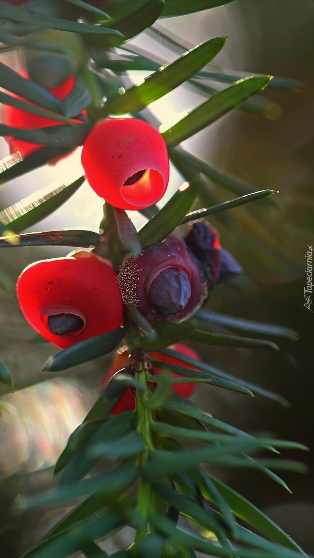 Czerwone owoce cisu