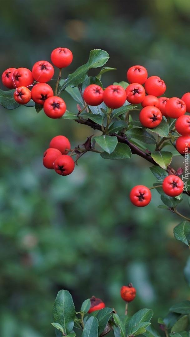 Czerwone owoce irgi