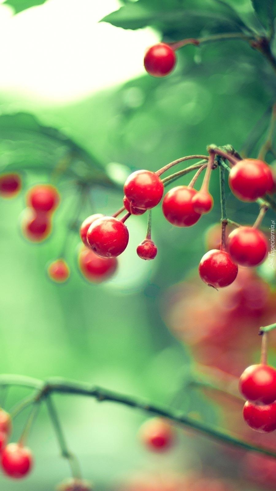 Czerwone owoce jarzębiny