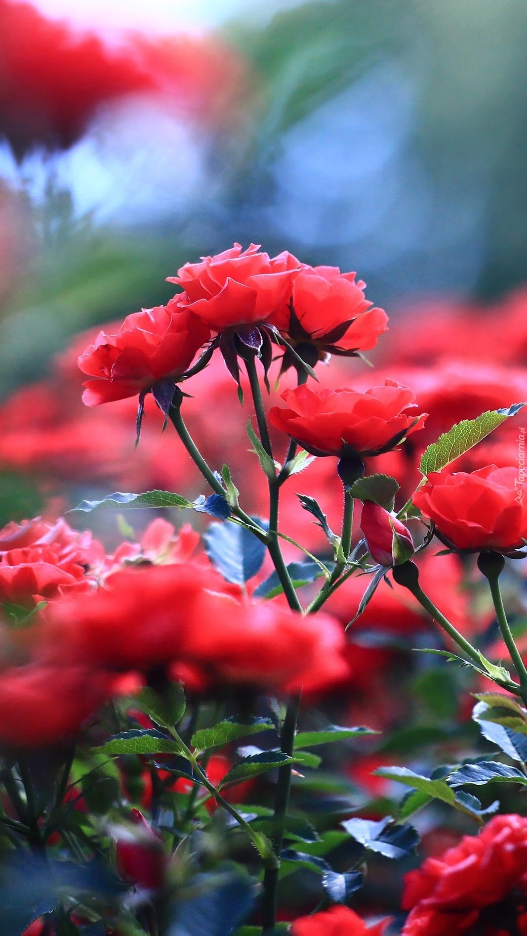 Czerwone róże na krzakach