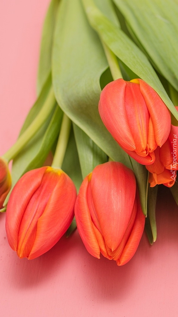 Czerwone tulipany