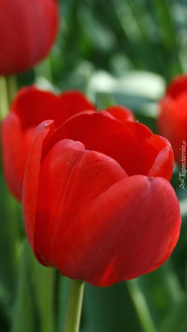 Czerwone tulipany na rozmytym tle