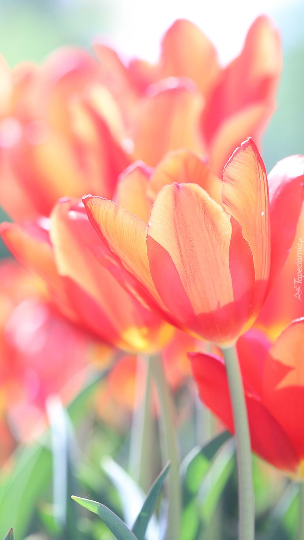 Czerwone tulipany w blasku słońca