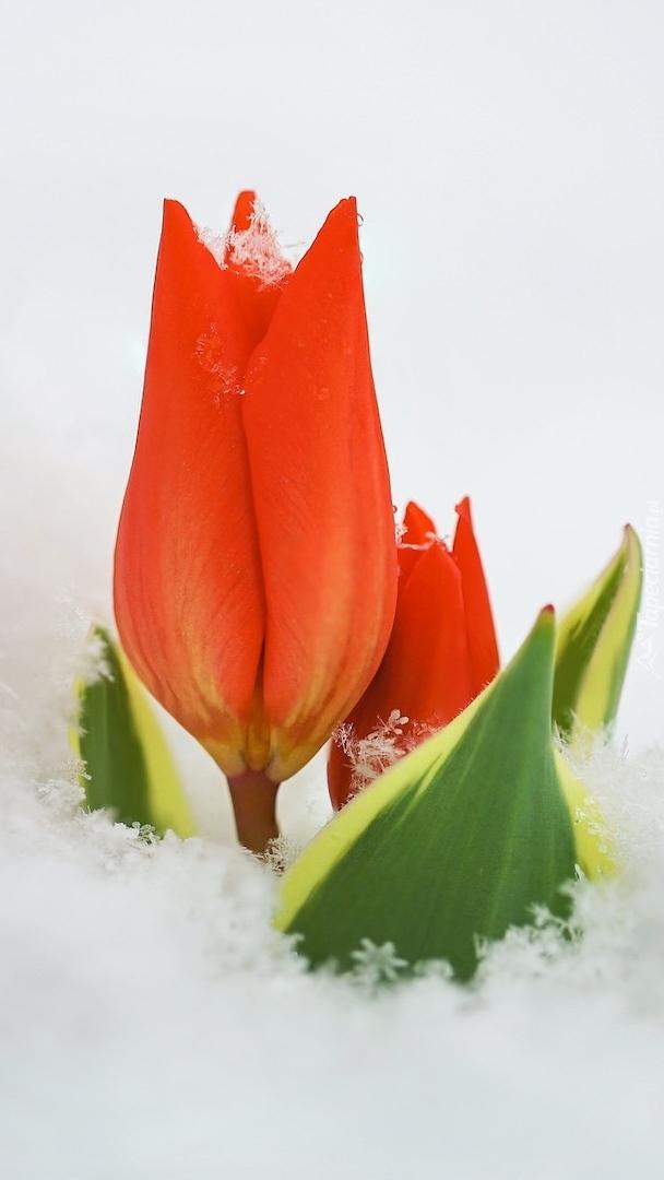 Czerwone tulipany w śniegu