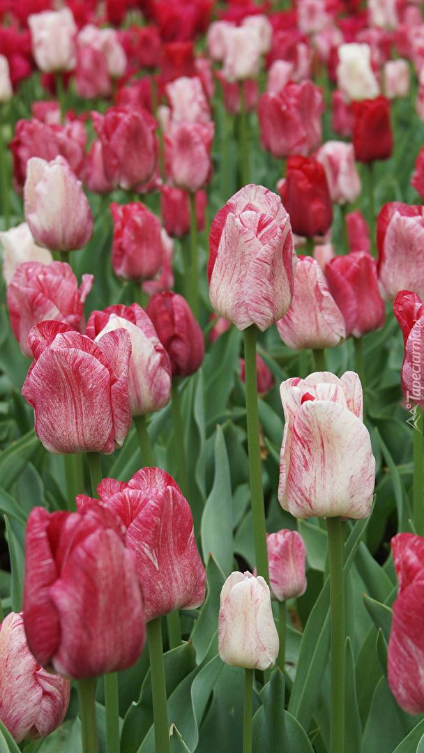 Czerwono-białe tulipany na polu