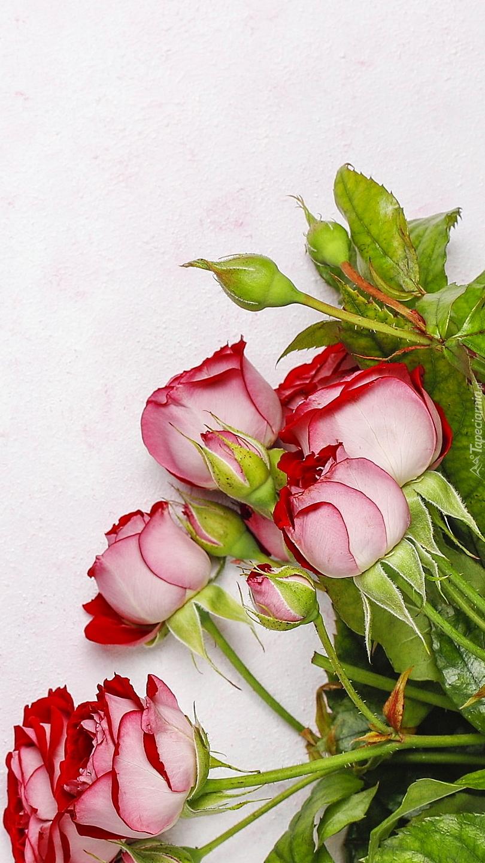 Czerwono-różowe róże z pąkami