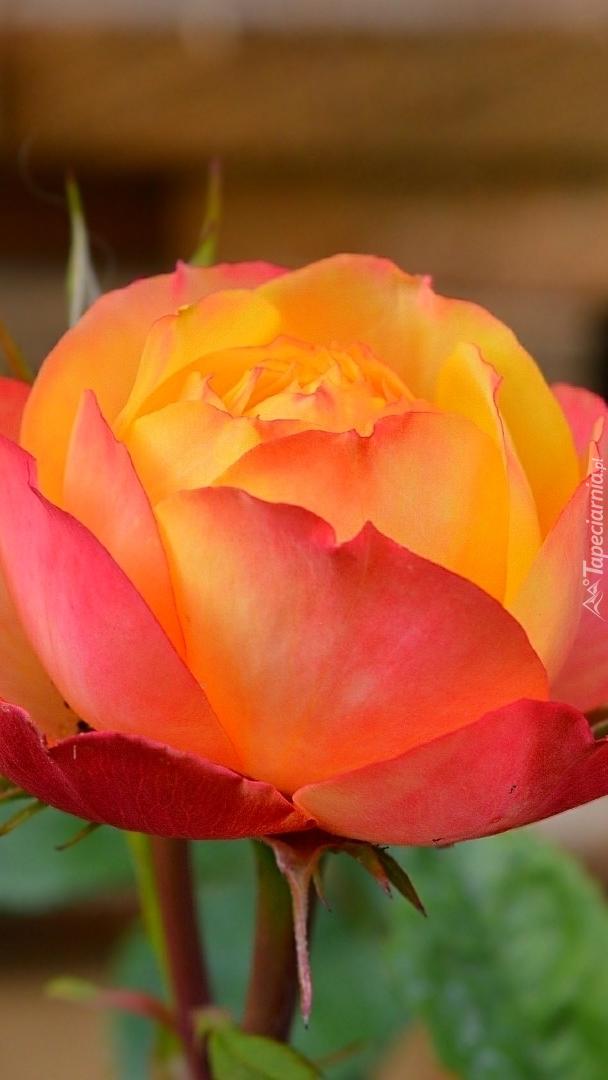 Czerwono-żółta róża