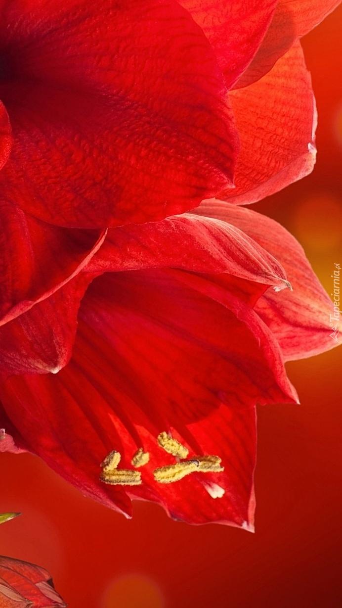 Czerwony amarylis z bliska