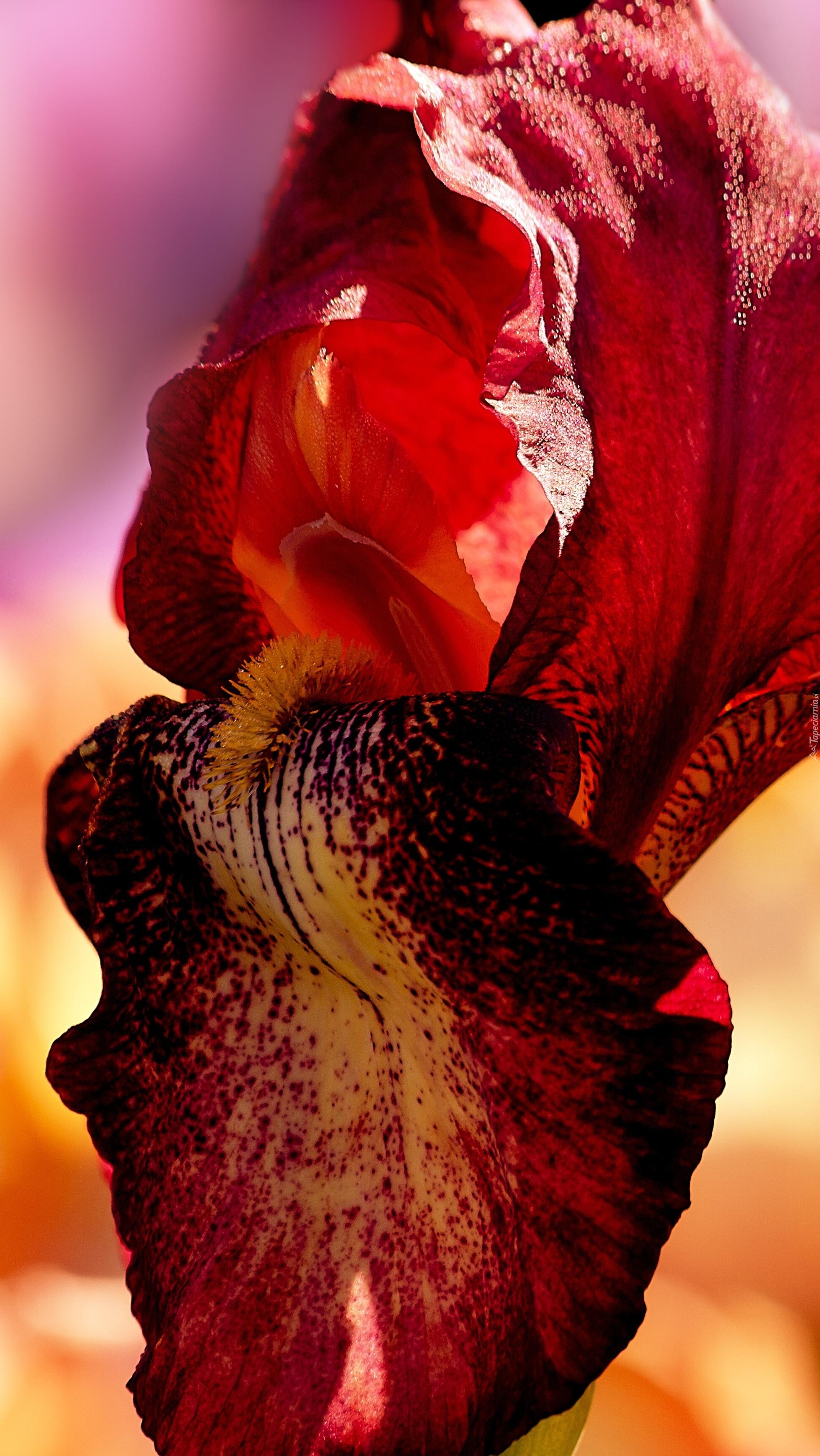 Czerwony irys