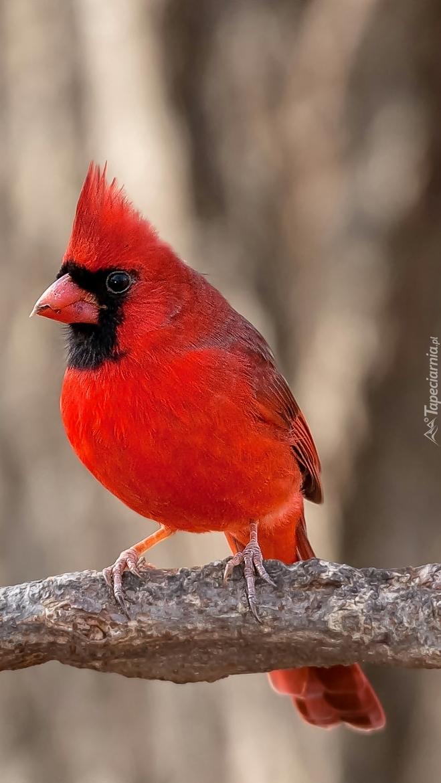 Czerwony kardynałek