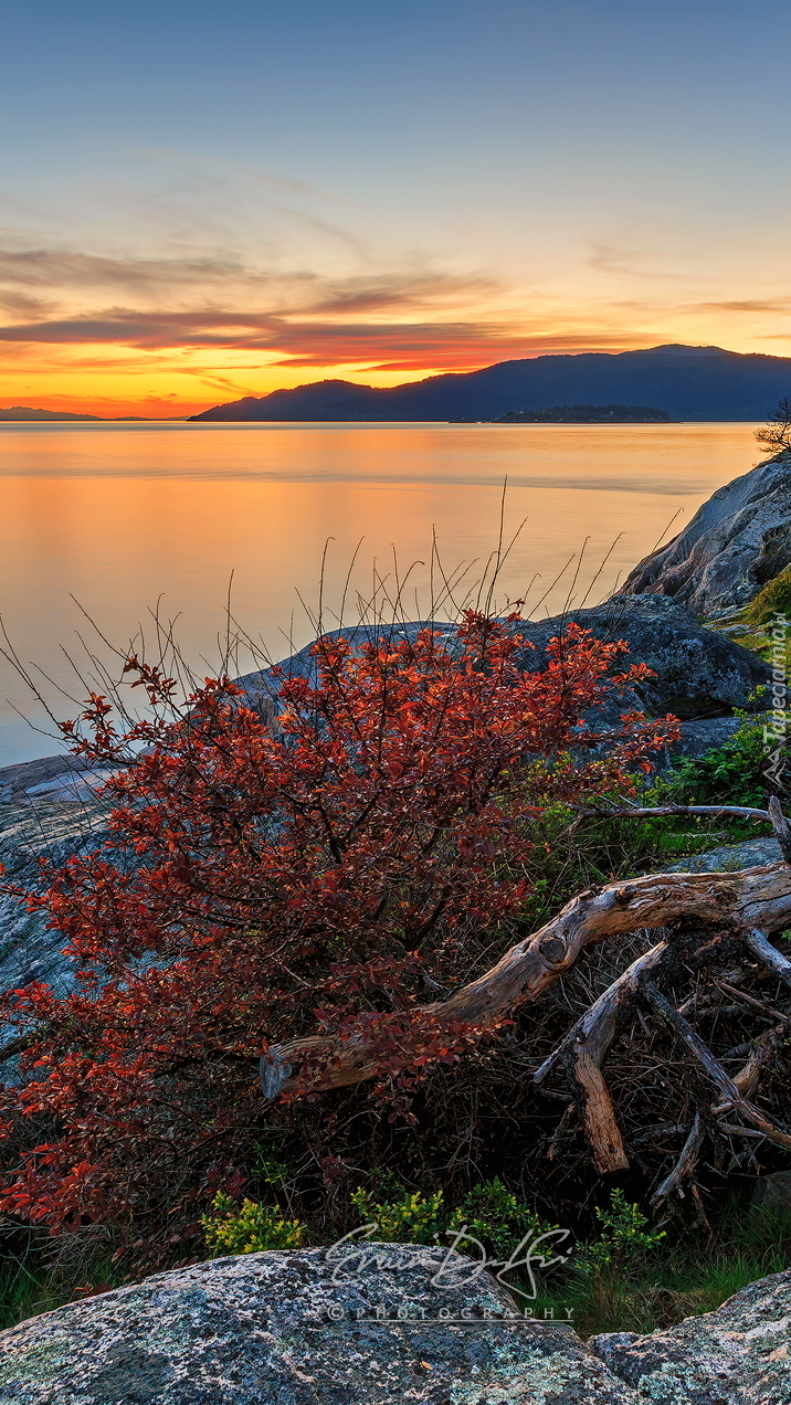 Czerwony krzew na skałach