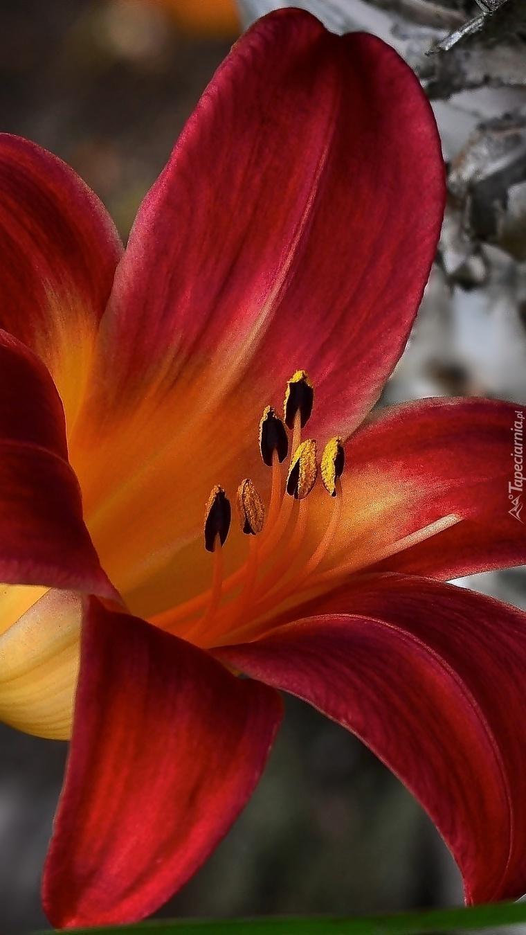 Czerwony liliowiec w zbliżeniu