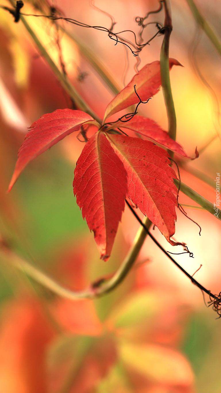 Czerwony liść dzikiego wina