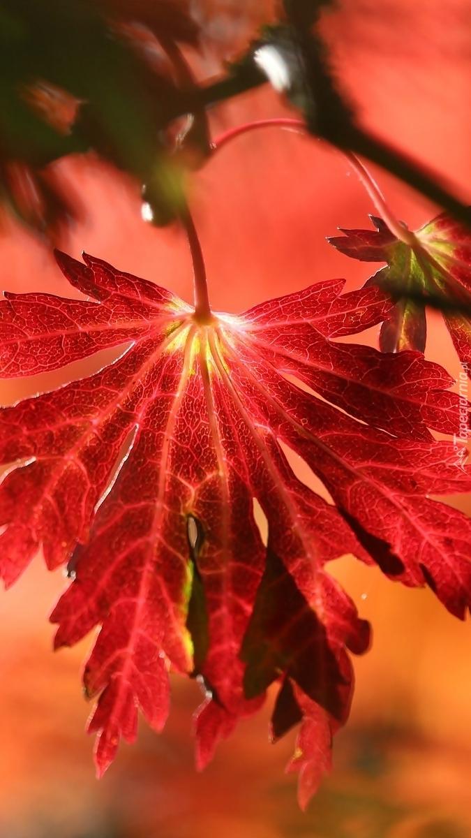 Czerwony liść klonu