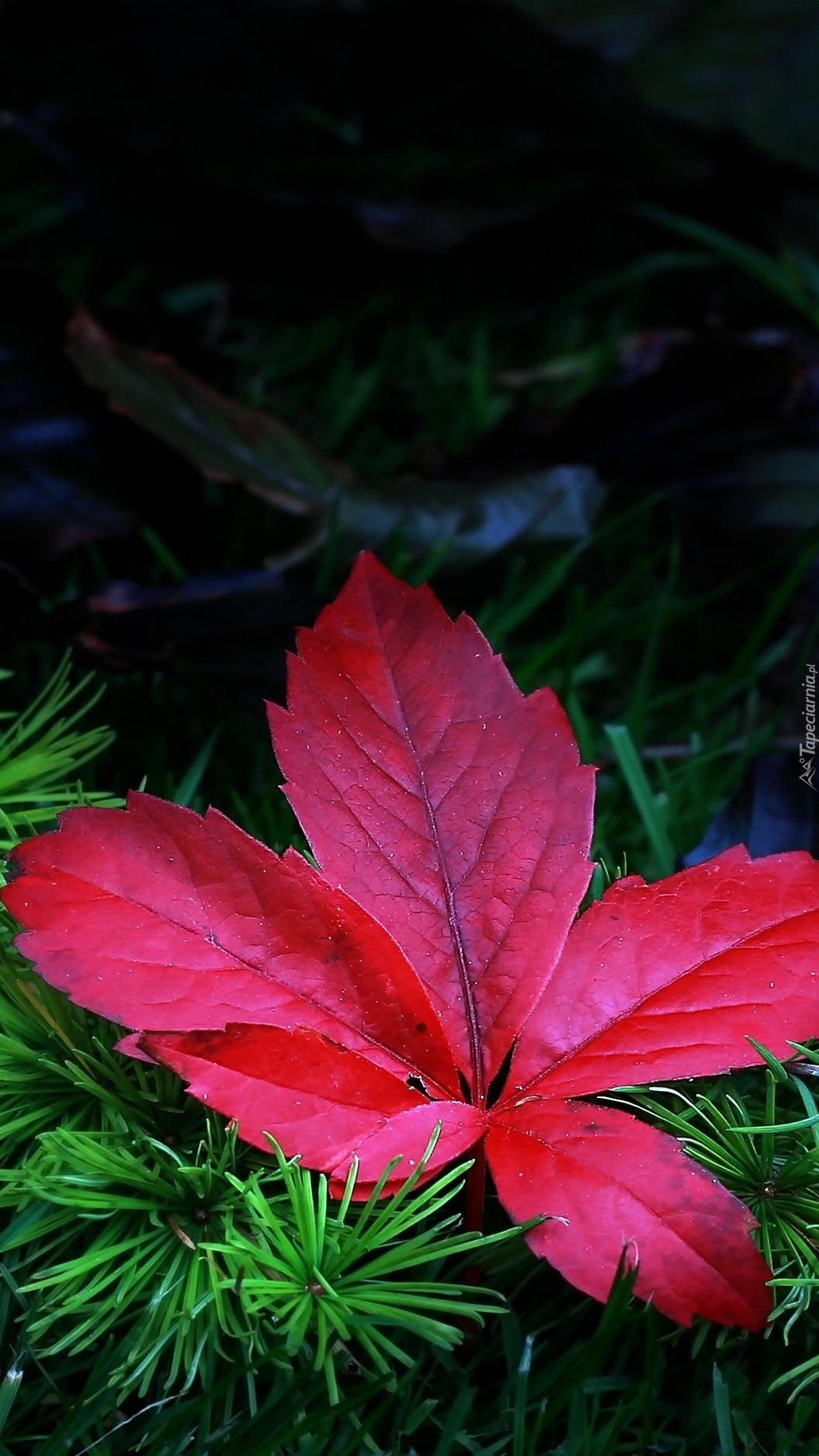 Czerwony liść na gałązce iglaka