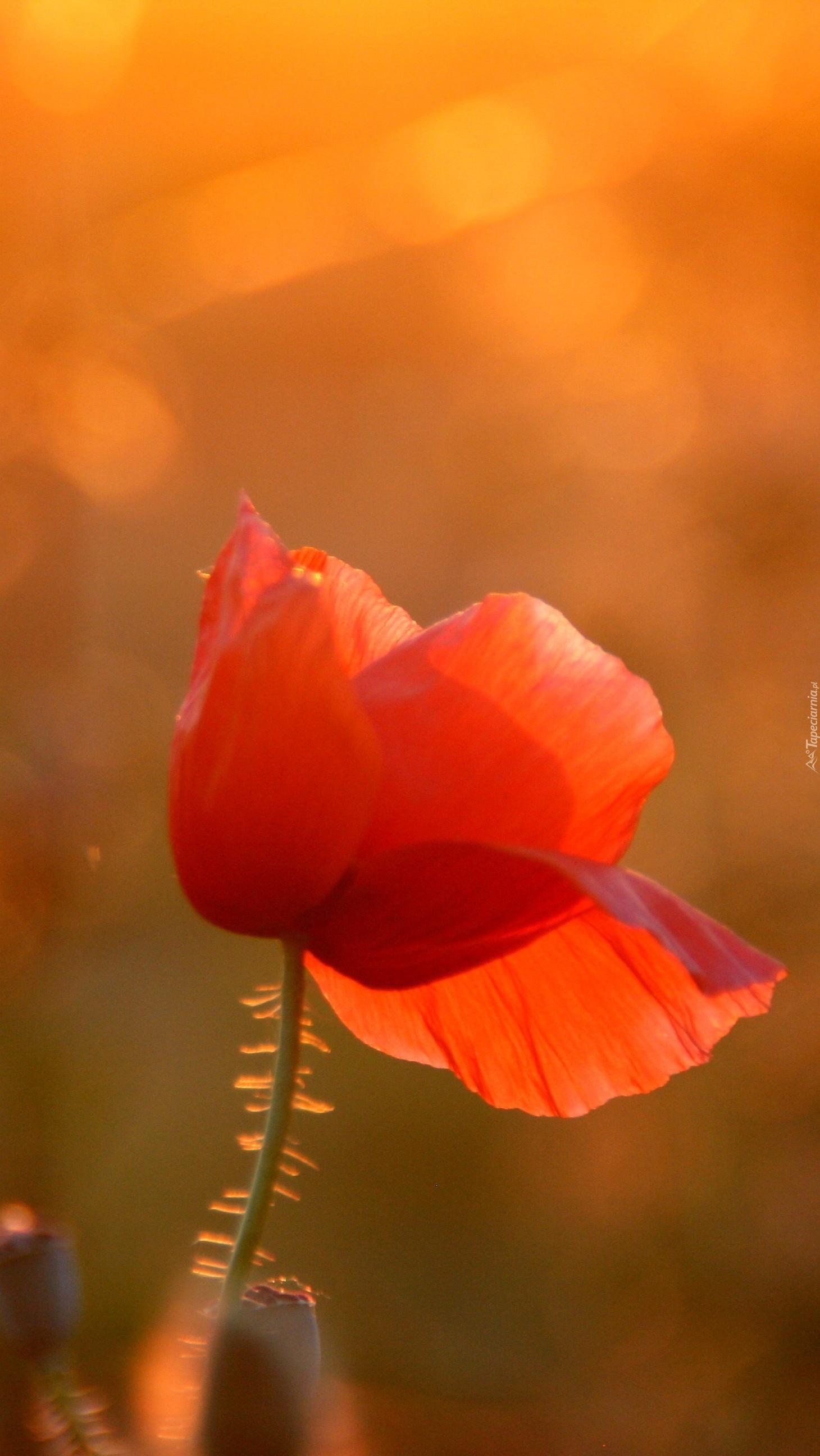 Czerwony mak w słońcu