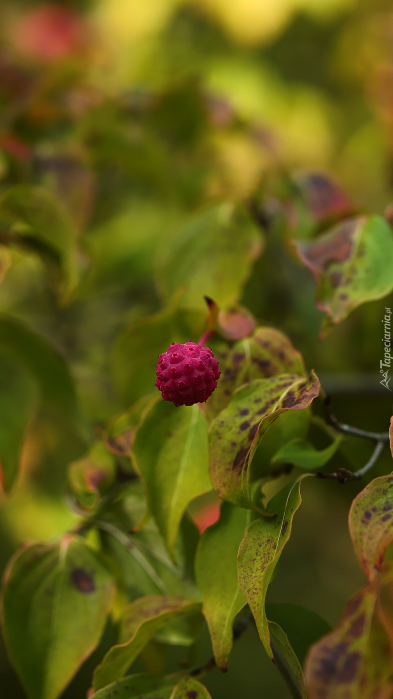 Czerwony owoc derenia