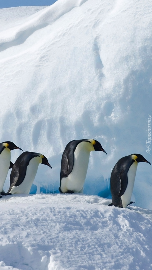 Cztery pingwiny cesarskie
