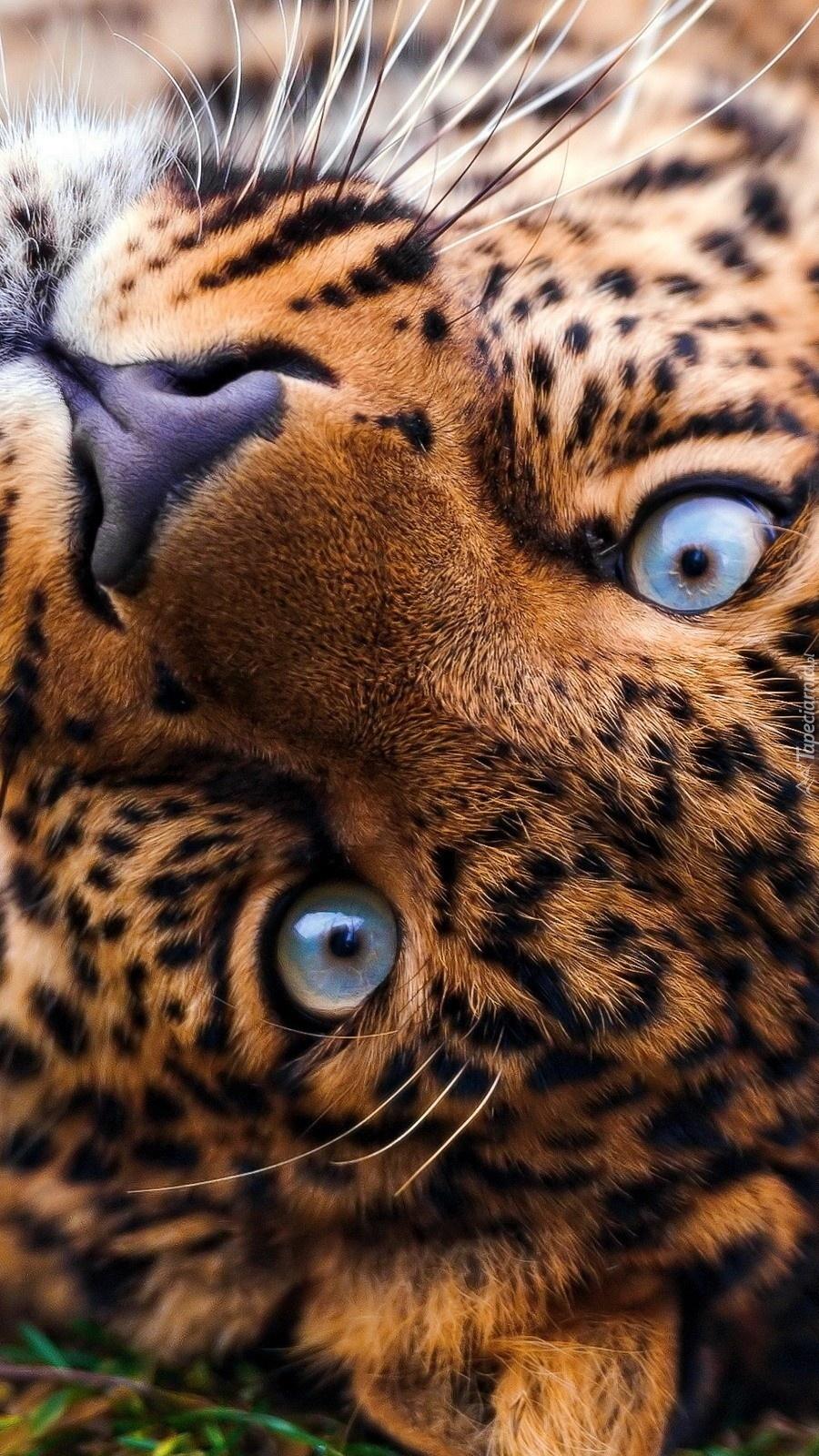 Czujne oczy lamparta