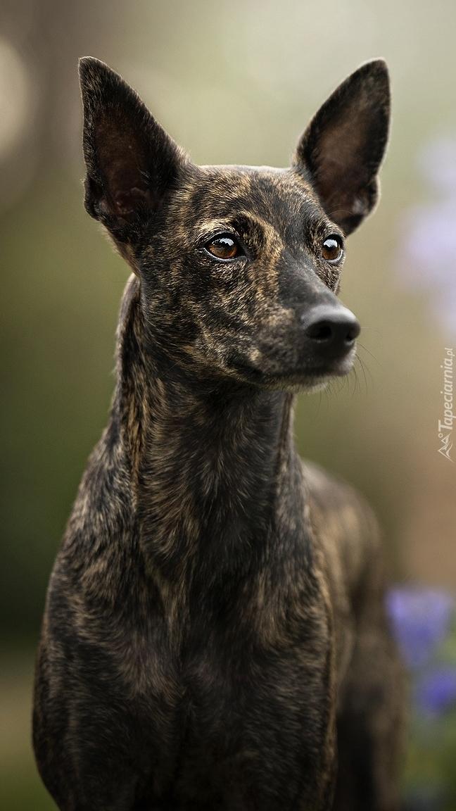 Czujny pies