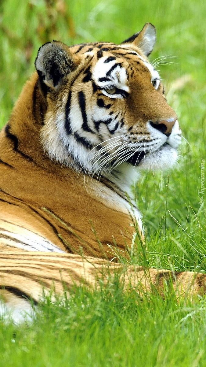 Czujny tygrys na łące